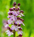 Purpur-Knabenkraut (Orchis purpurea)