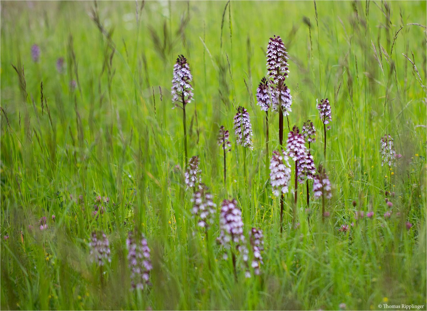 Purpur-Knabenkraut (Orchis purpurea) . .