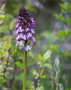Purpur-Knabenkraut (Orchis purpurea) ...