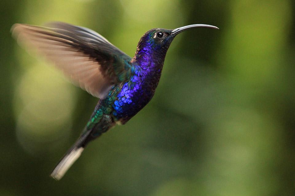 Purpurdegenflügel in Costa Rica