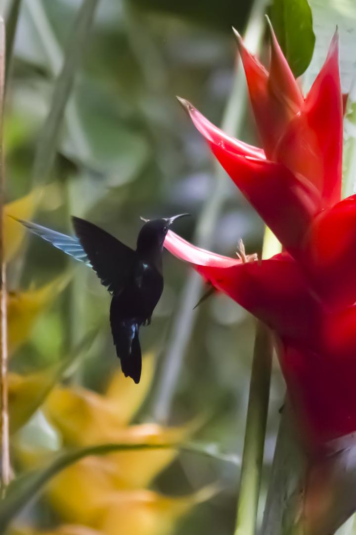 Purpurkehlkolibri