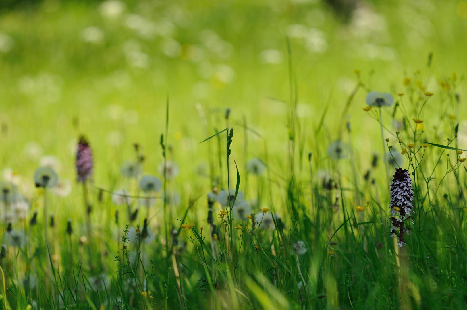 """Purpurknabenkräuter erwachen im """"Weißen Meer"""" der Pusteblumen"""