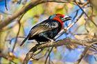 Purpurmasken-Bartvogel / Äthiopien / 11.2010