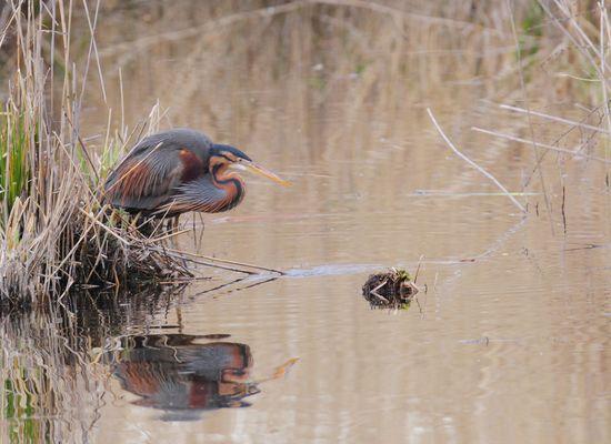 Purpurreiher am Wasser