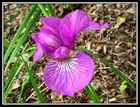 Purpurrot zum Ende des Frühlings ...