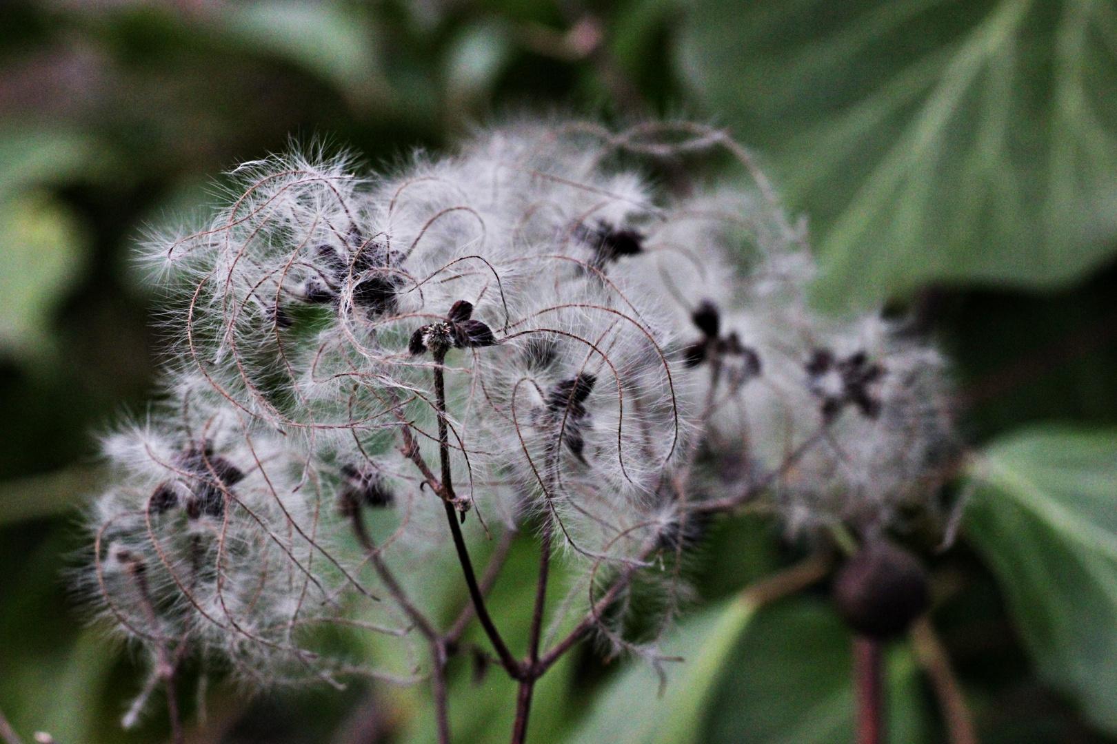 Puste Blume