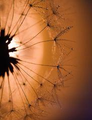 Pusteblume Abendlicht