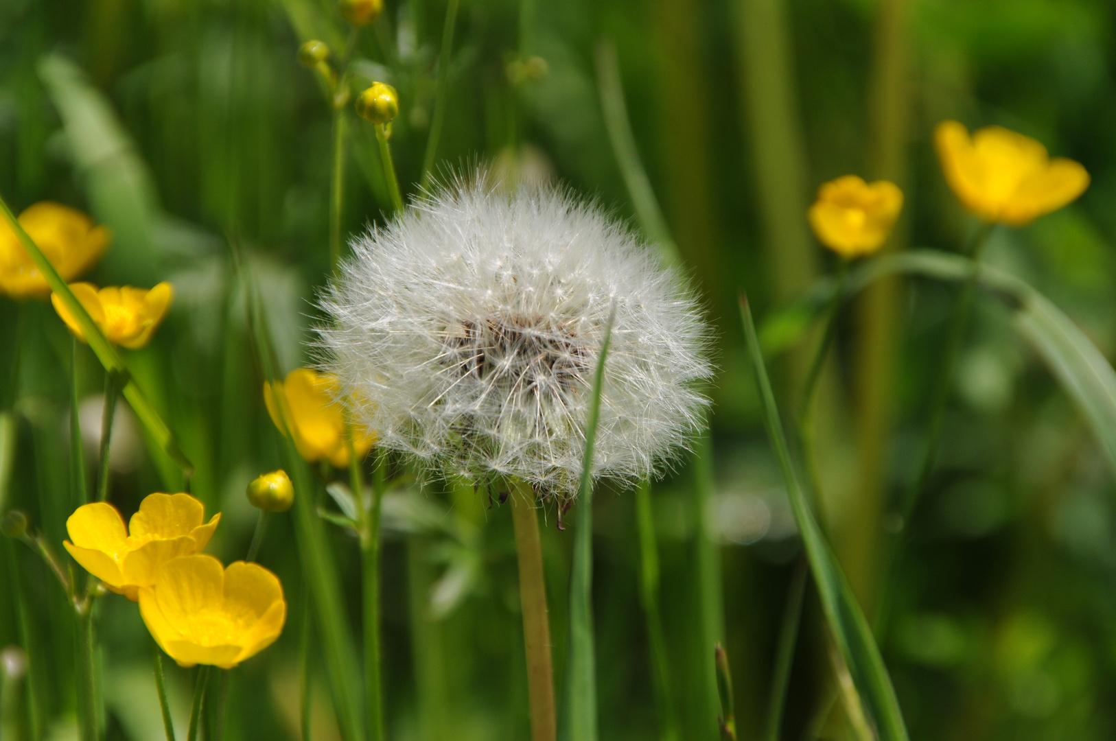 Pusteblume auf einer dieser Frühlingswiesen mit