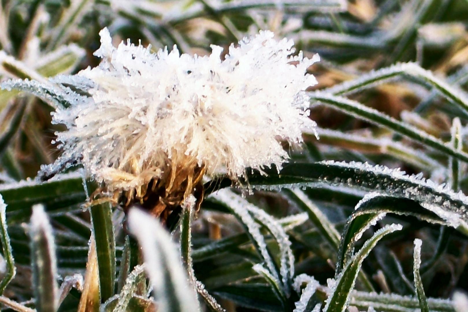 Pusteblume - ganz winterlich angehaucht