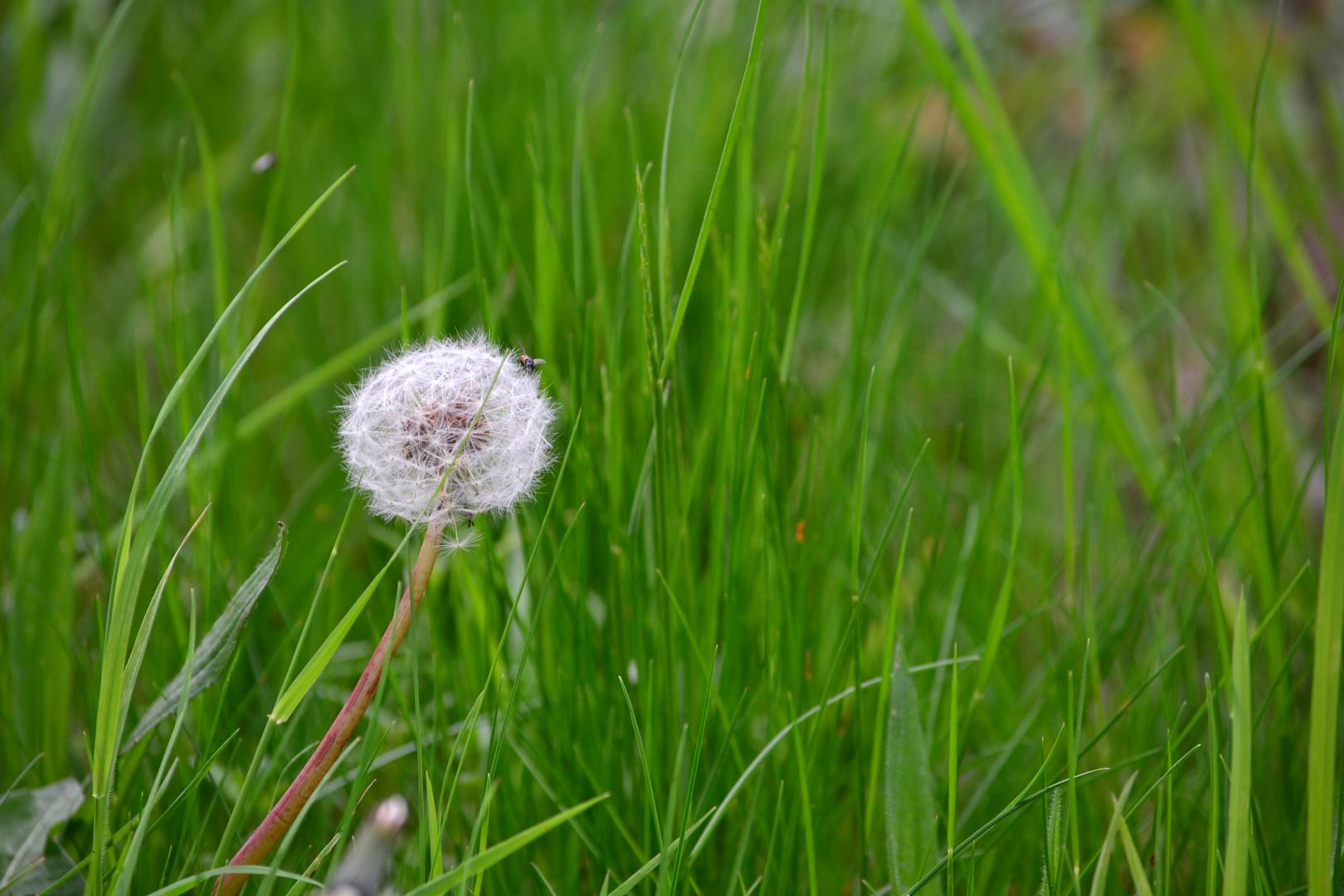 Pusteblume im Gras