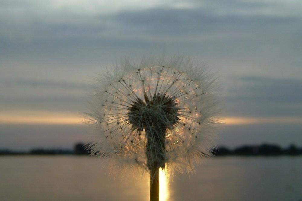 """Pusteblume"" im Sonnenuntergang"