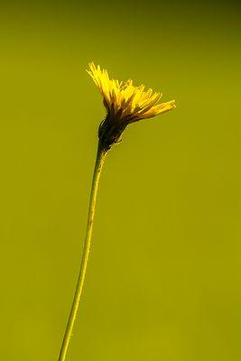 Pusteblume vor der Verwandlung im Gegenlicht