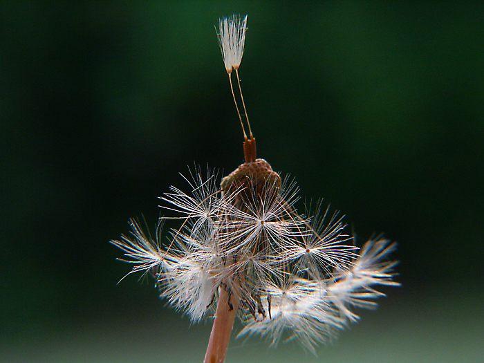 Pusteblume - wie eine kleine Tänzerin