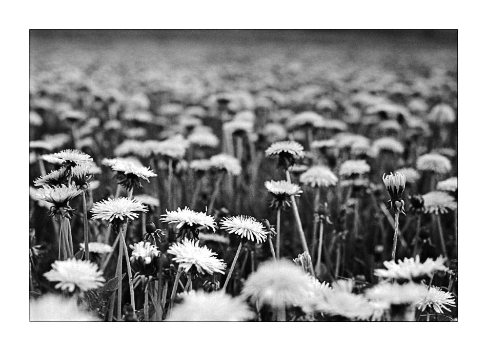 Pusteblumen Fields ... Forever