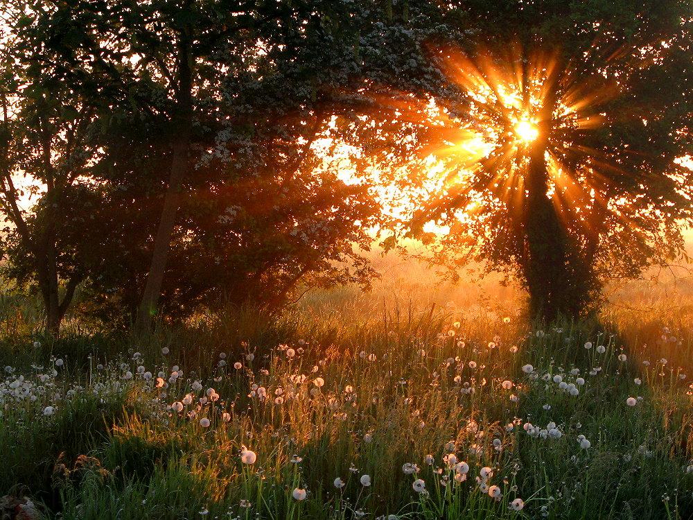 Pusteblumen in der Morgensonne