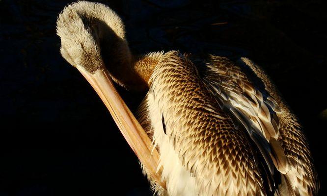 Putzender Pelikan