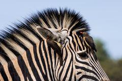 Putzkolonne auf Zebrastreifen