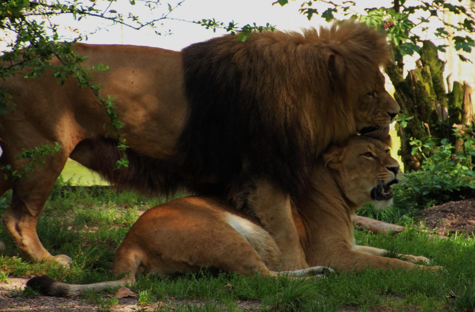 Putzstunde bei den Löwen