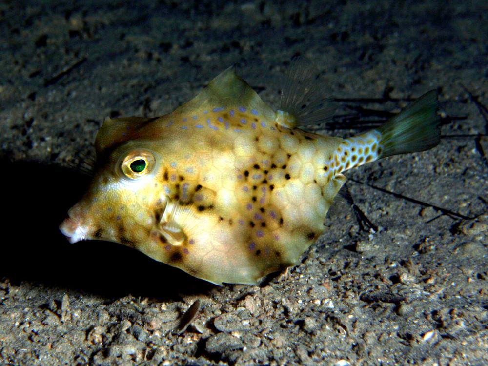 Pyramidenkofferfisch