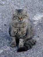 Pyrenäen- (Wild-) Katze