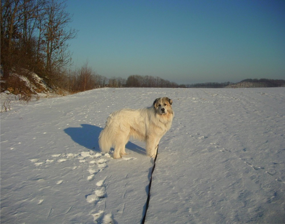 Pyrenäenberghund Benny