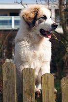 Pyrenäenberghund beobachtet