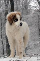 Pyrenäenberghund beobachtet die Umgebung