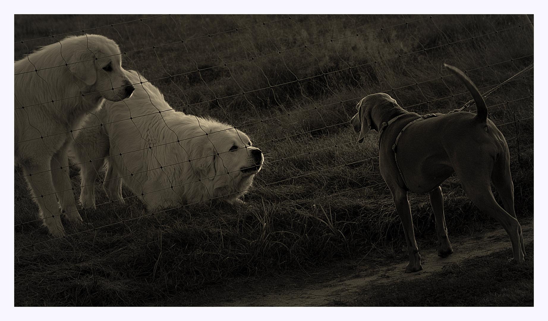 Pyrenäenberghund vs.Weimaraner