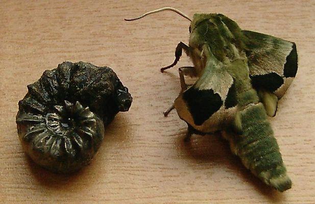 Pyrit-Ammonit und Lindenschwärmer