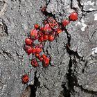Pyrrhocoris apterus, die Feuerwanze