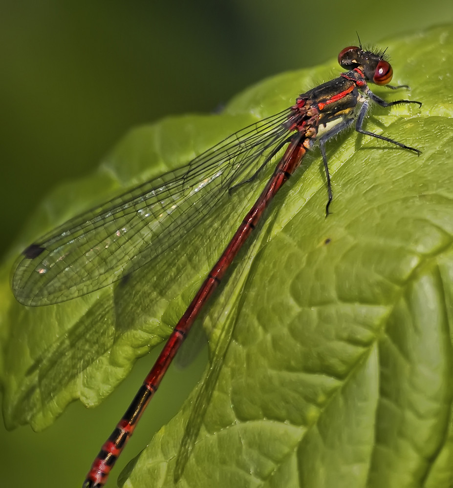 Pyrrhosoma nymphula - Frühe Adonislibelle