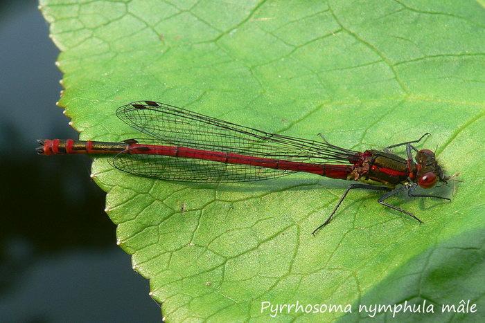 Pyrrhosoma nymphula mâle