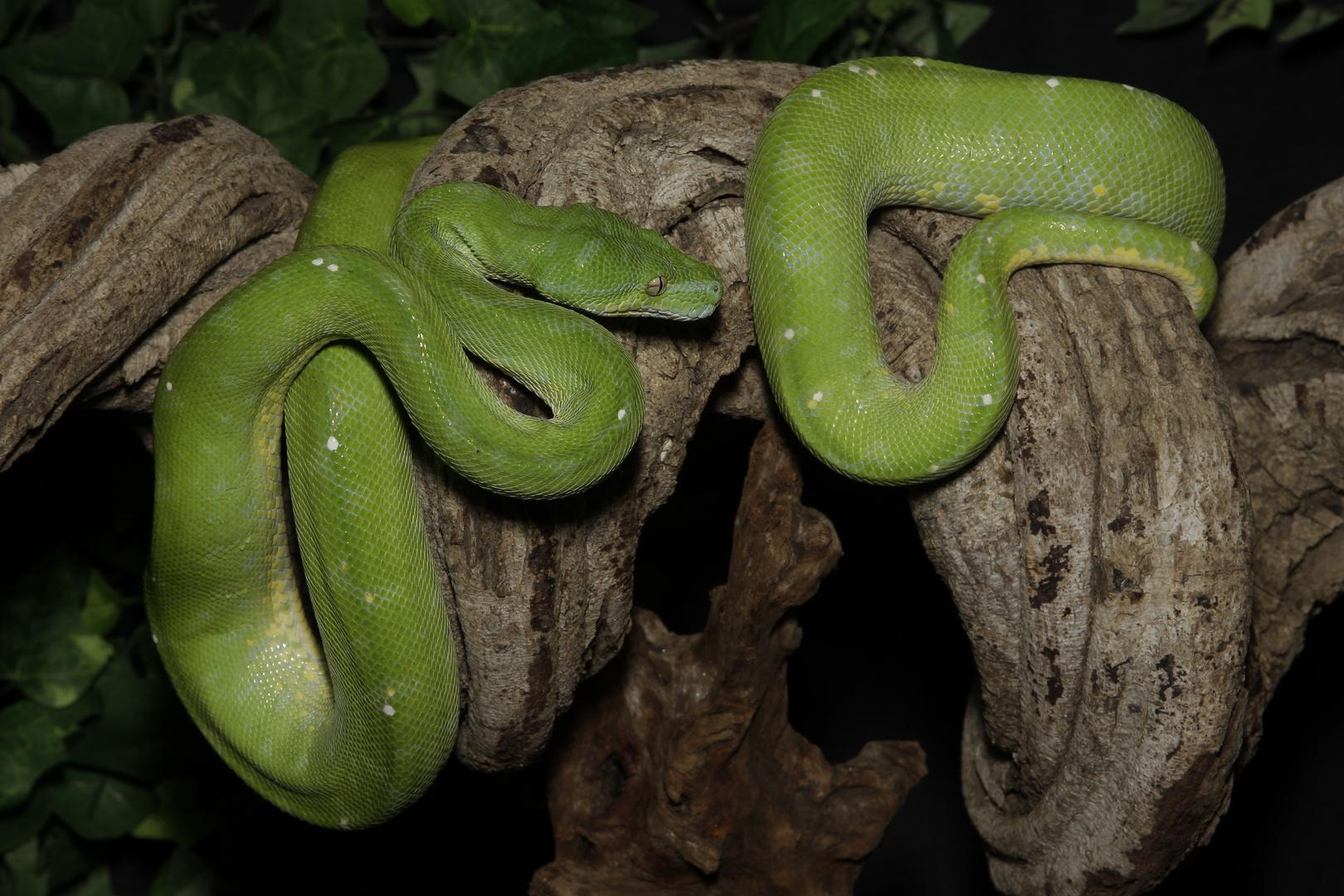 Python vert ( Morélia viridis )