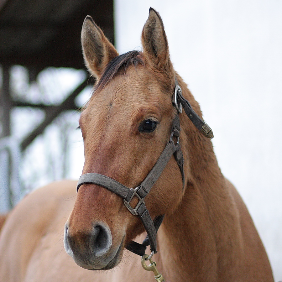 QH 2 years filly
