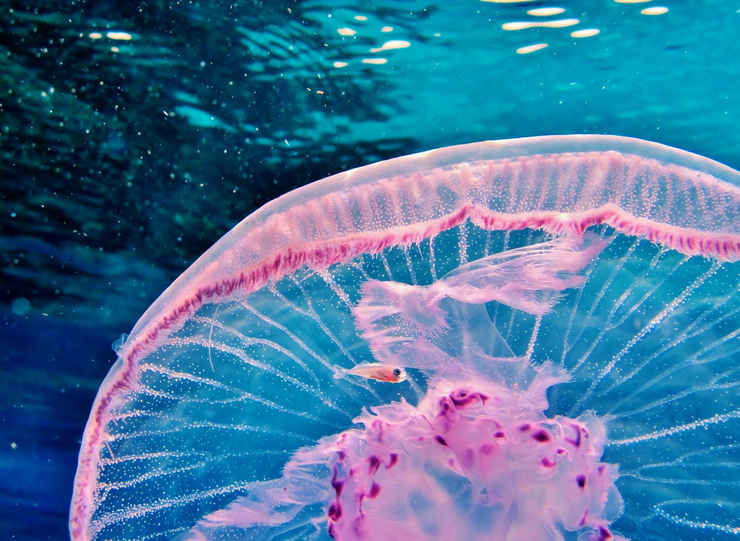 Qualle mit Jungfisch der mit ihr durchs Meer reist