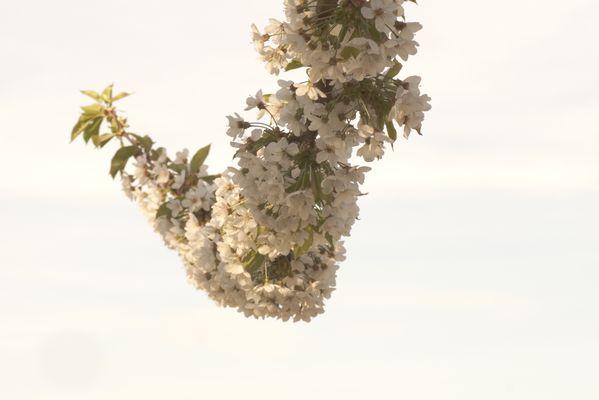 quand fleur et ciel se mélange