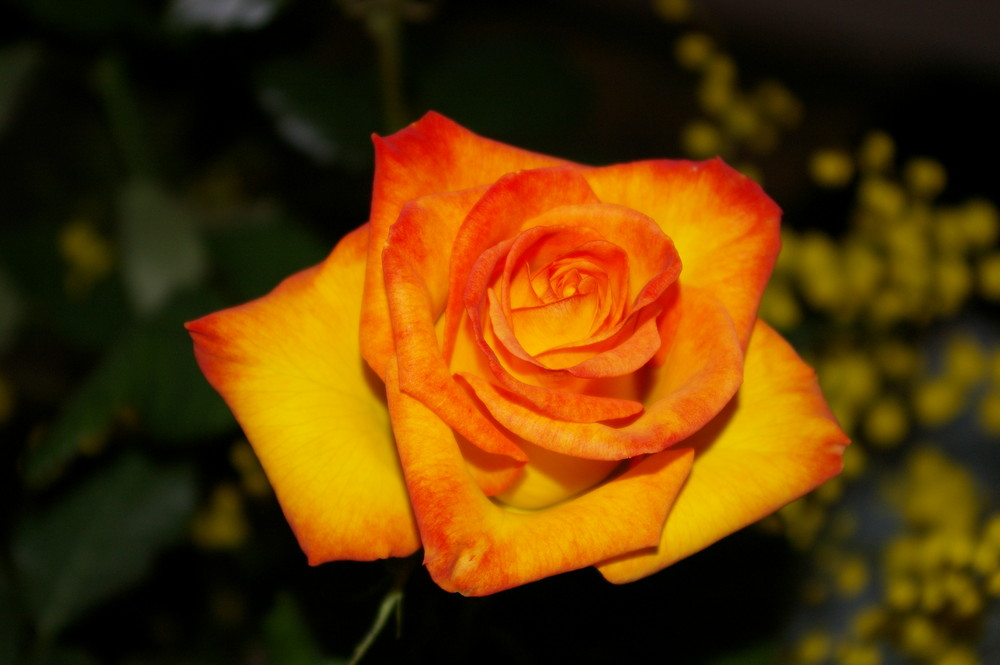 Quand la rose fut éclose