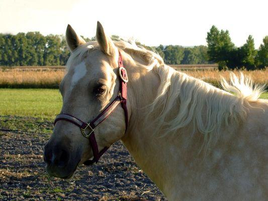 Quarter Horse im Herbstlicht