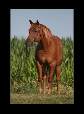 Quarter Horse Stute Luckys Red Annie