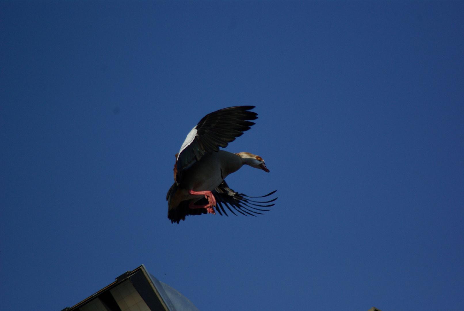 Quax - häßlichster Vogel am Tümpel