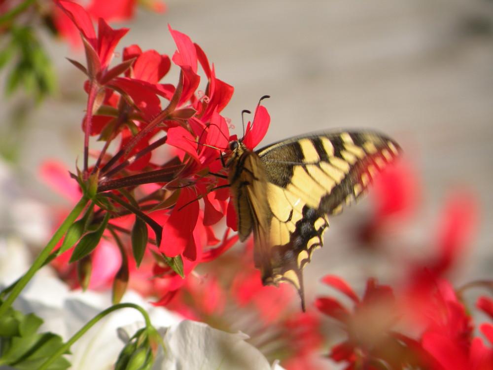 Que les fleurs sont belles !  Paroles de papillon...