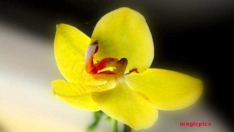 queen yellow