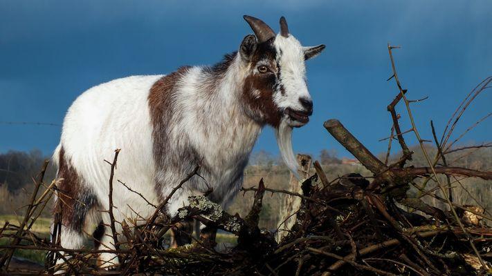 Quelle chèvre!