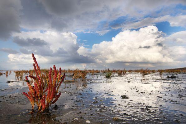 Queller im Wattenmeer
