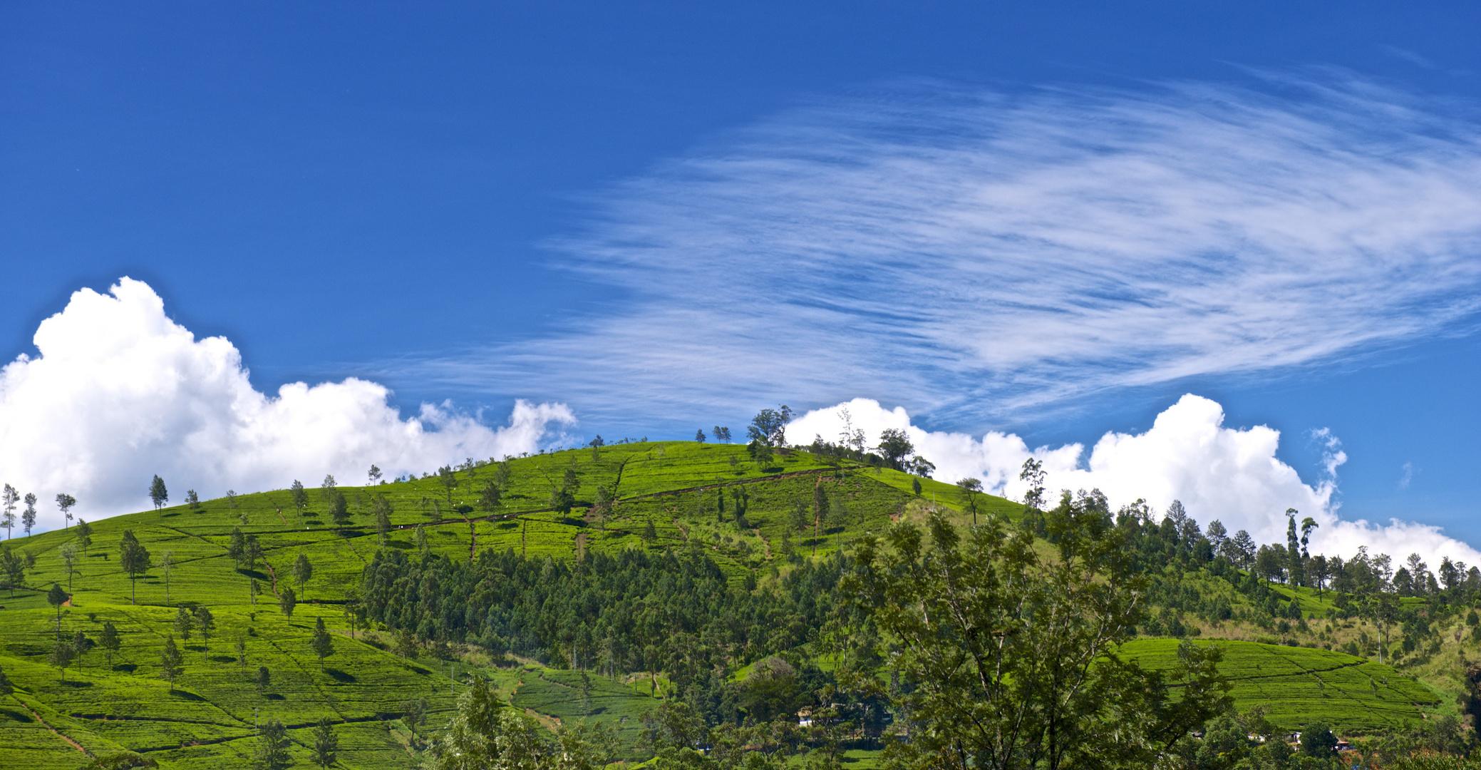 Quellwolken über den Teeplantagen