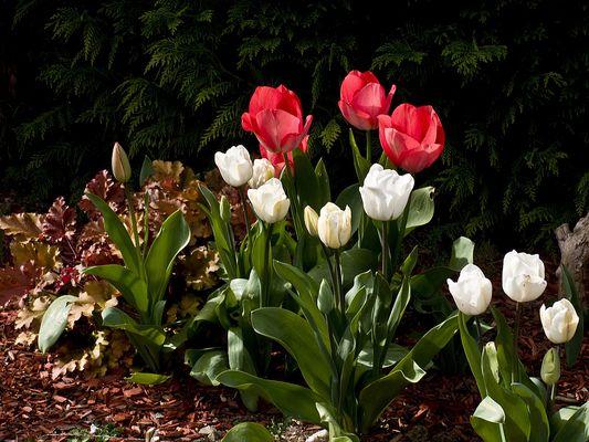 Quelques tulipes au jardin --  Einige Tulpen im Garten