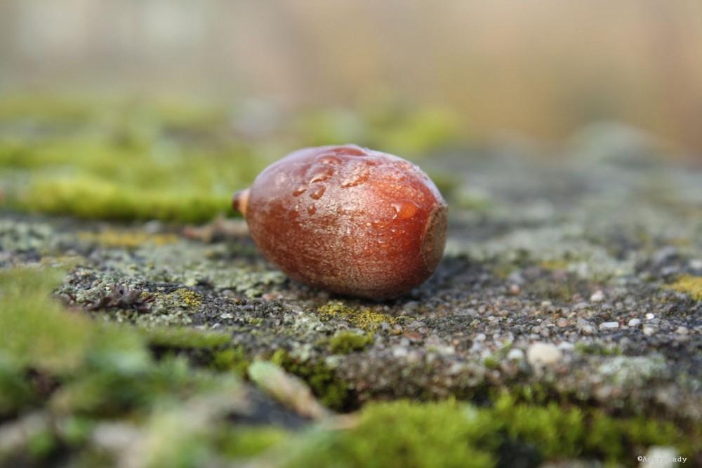 Quercusfrucht