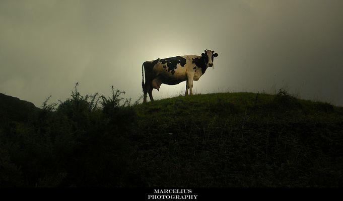 Querida vaca