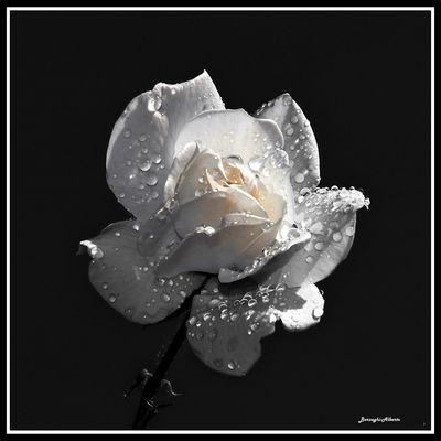 questa rosa dedicata a me per i miei 71 anni