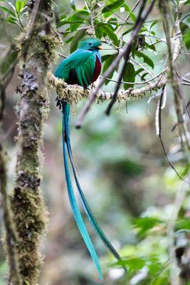 Quetzal in Panama